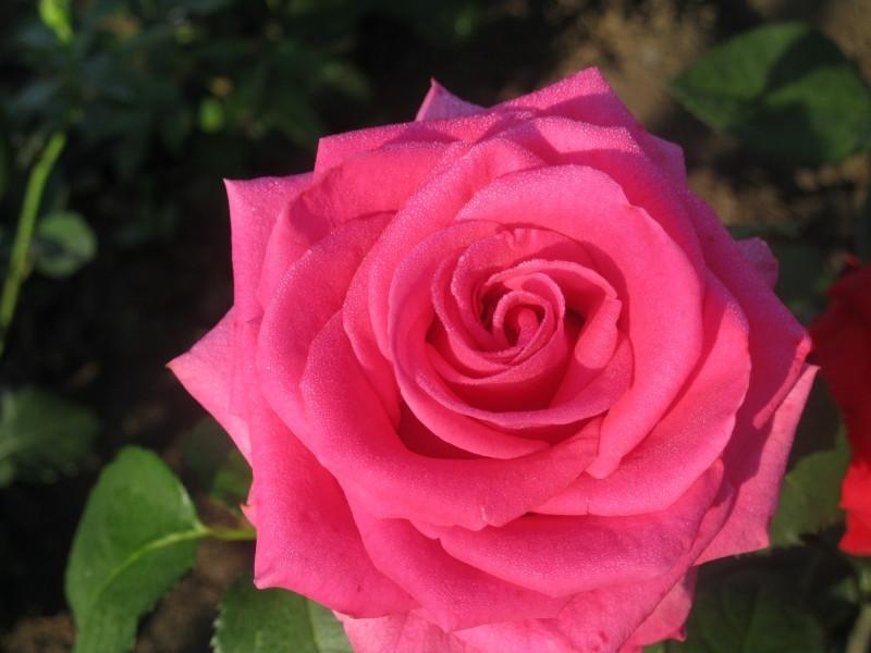Роза  Шакира (Shakira) Ч/Г