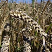 Озимая пшеница, Запашна, Элита