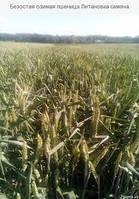 Озимая пшеница, Литановка, Элита