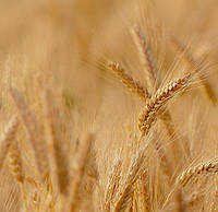 Озимая пшеница, Смуглянка, Элита