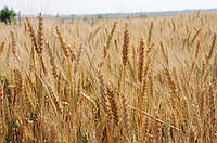 Озимая пшеница, Щедость Одесская, Элита