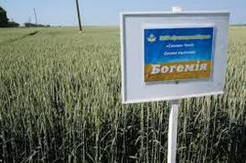 Насіння пшениці озимої Богемія (1 репродукція)