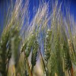 Пшеница озимая, Туранус, 1-репродукция, Saatbau, Австрия