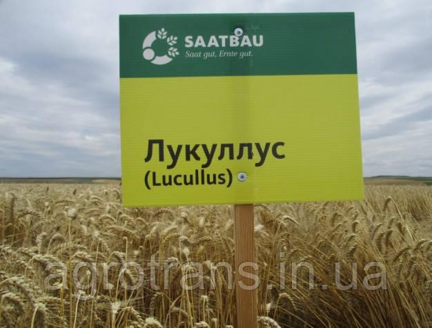 Пшеница озимая, Лукуллус, 1-репродукция, Saatbau, Австрия