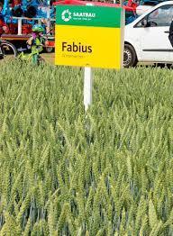 Пшеница озимая, Фабиус, 1-репродукция, Saatbau, Австрия