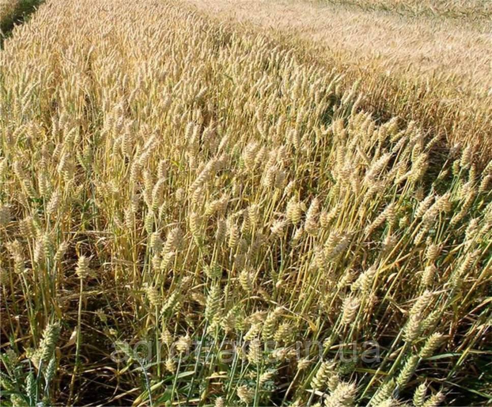 Пшеница озимая, Кубус, 1-репродукция, KWS, Австрия
