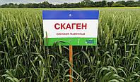 Пшеница озимая, Скаген, 1-репродукция, Saaten Union
