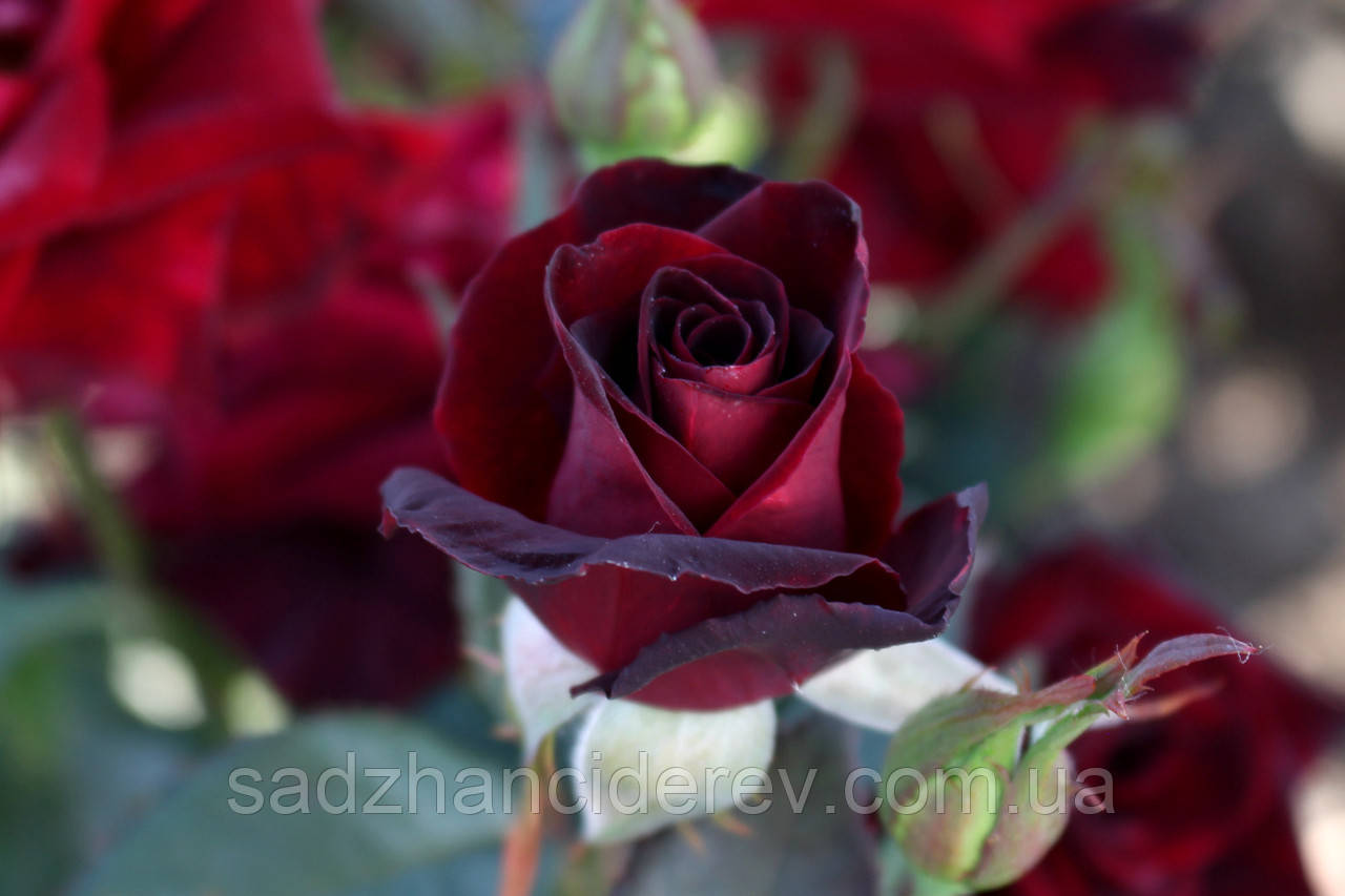 Саджанці троянд Блек Баккара (Black Baccara, Блэк Баккара)