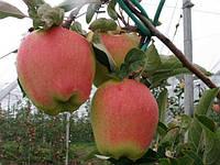 Саджанці яблунь Голд Чиф (Голд Пинк,Gold Chief,Gold Pink)