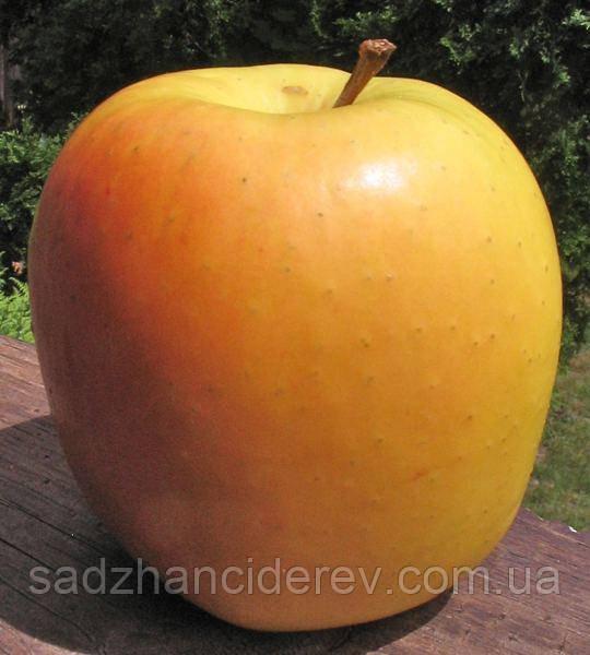 Саджанці яблунь Оттава