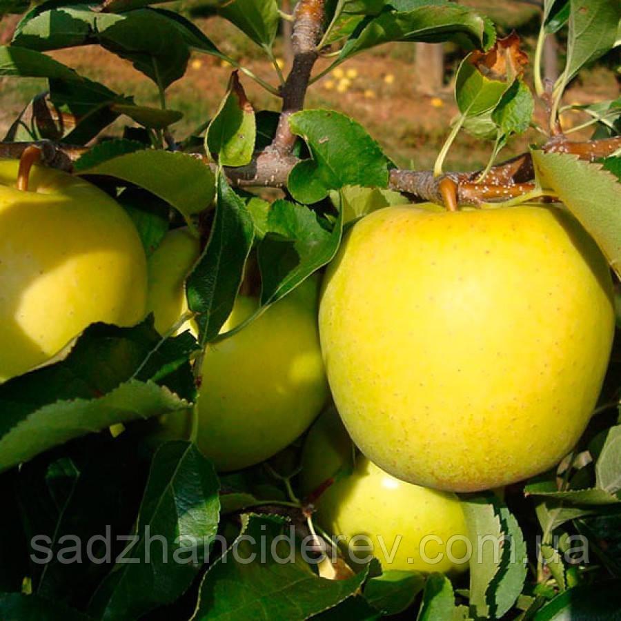 Саджанці яблунь Тентейшн