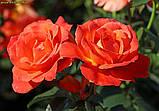 Роза Fellowship (Братство ) відвантаження вересень, фото 2