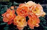 Роза Fellowship (Братство ) відвантаження вересень, фото 3