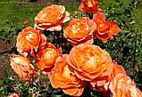 Роза Fellowship (Братство ) відвантаження вересень, фото 4