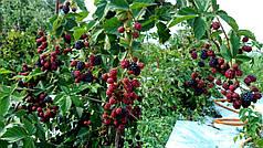 Профилактика и защита растений: комплексная обработка ежевики весной