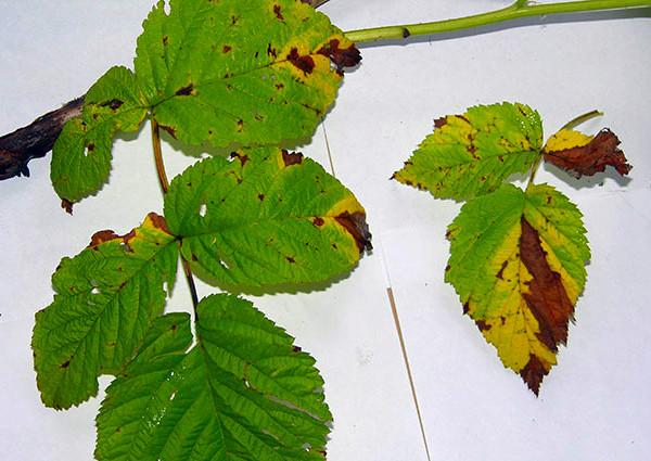 Дидимелла поражение листьев ежевики