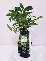 Чайный куст (Camellia sinensis) 30-40 см. Комнатный