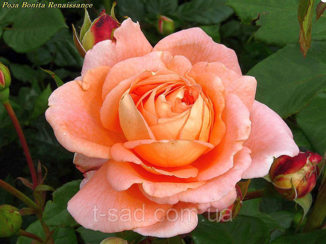 Роза Bonita Renaissance (Боніта Ренесанс)