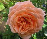 Роза Bonita Renaissance (Боніта Ренесанс), фото 5