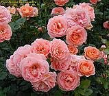 Роза Bonita Renaissance (Боніта Ренесанс), фото 2