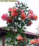 Роза Bonita Renaissance (Боніта Ренесанс), фото 3