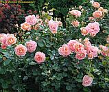 Роза Bonita Renaissance (Боніта Ренесанс), фото 4
