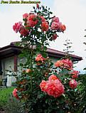 Роза Bonita Renaissance (Боніта Ренесанс), фото 6