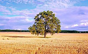 Фотокартина на холсте Хлебное дерево  50х70 см
