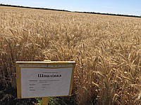 Озимая пшеница, Шпаловка, Элита