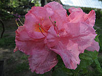 Сіянець рододендрона Kilian Х Fabiola(KnapHill - ExburyHybride, листопадний).