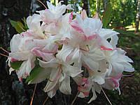 Сіянець рододендрона JackA. Sand Х Schneegold (біло – рожевий)(KnapHill - ExburyHybride, листопадний).