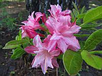Сіянець рододендрона JackA. Sand Х Schneegold (рожевий) (KnapHill - ExburyHybride, листопадний).