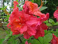 Сіянець рододендрона Fabiola (KnapHill - ExburyHybride, листопадний)