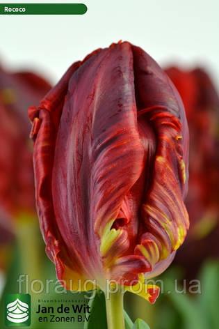 Тюльпан Рококо (попугайный) купить в Москве по цене 99 руб. с ... | 473x315