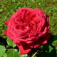 Роза чайно-гибридная Ботеро, фото 1