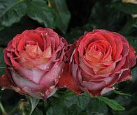 Роза чайно-гибридная Гиннесс, фото 1