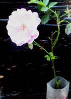 Роза плетистая Розовый жемчуг. Корнесобственная в контейнерах Д5.