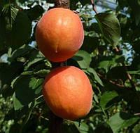 Саженцы абрикоса сорт Фарбелы