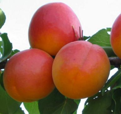Саженцы абрикоса сорт Фардао