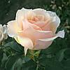 Роза чайно-гибридная Клер Оушен