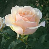 Роза чайно-гибридная Клер Оушен, фото 1