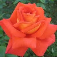 Роза чайно-гибридная Лаверс Митинг, фото 1