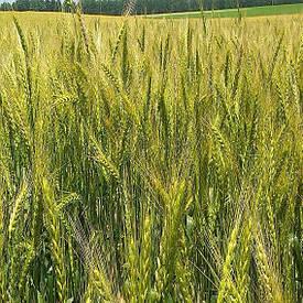 Пшеница Украина