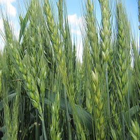 Пшеница Импорт