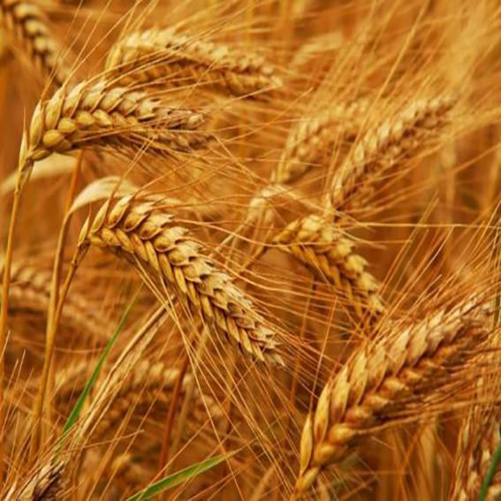 Озимая пшеница, ЗИМОЯРКА, 1я репродукция