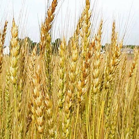 Озимая пшеница, ФИЛИППОВКА, Элита, фото 2