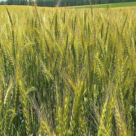 Озимая пшеница, ЗИМОЯРКА, Элита, фото 2