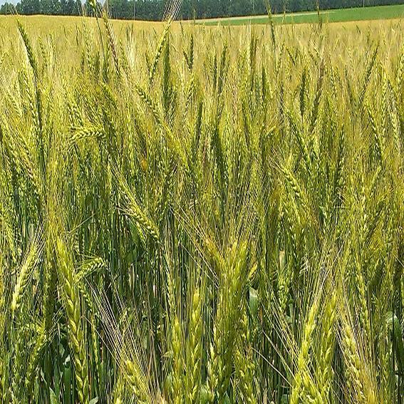 Озимая пшеница, ШПАЛОВКА, 1я Репродукция