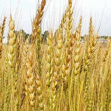 Озимая пшеница, ШПАЛОВКА, Элита, фото 2
