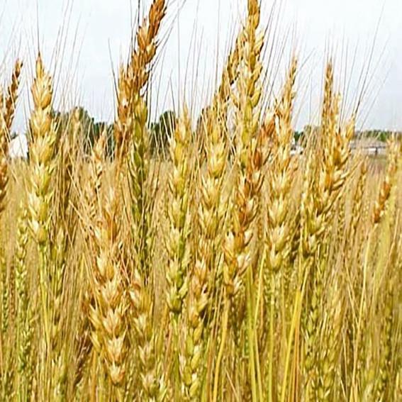 Озимая пшеница, ДУШИСТАЯ, Элита, Запашна